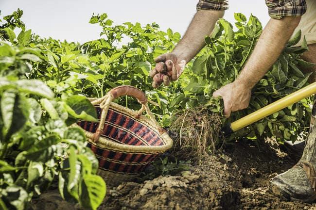 raccogliere verdura